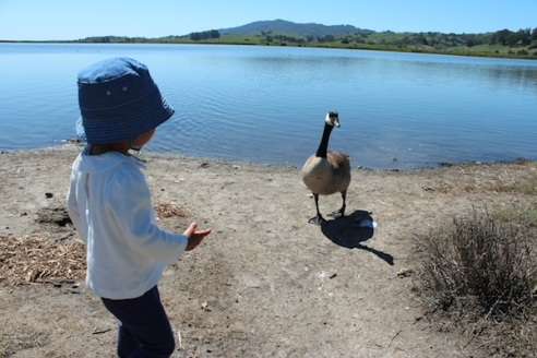 An aggressive goose coming toward us; I had to hold Bpoo back from her urge pet it!